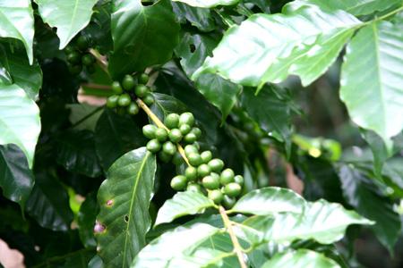 哥斯达黎加的十七个瞬间(四):来杯咖啡