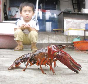 """吃""""小龙虾""""会重金属中毒吗?"""