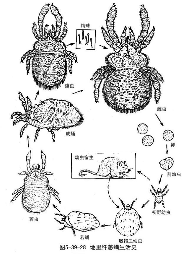 恙虫咬伤与恙虫病