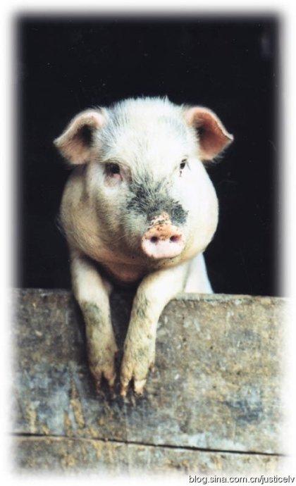 特立独行的猪?!