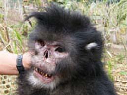 金丝猴新物种!不过它们真的怕雨天吗?