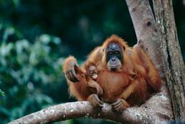 红猩猩基因组测序完成
