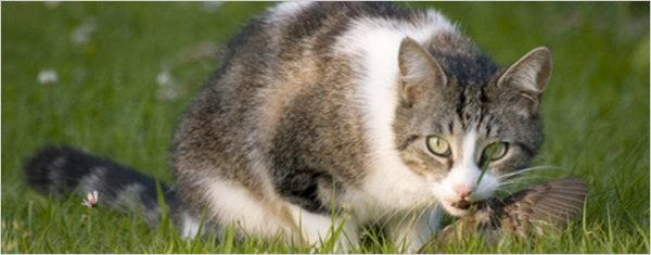 鸟儿的头号杀手居然是猫?
