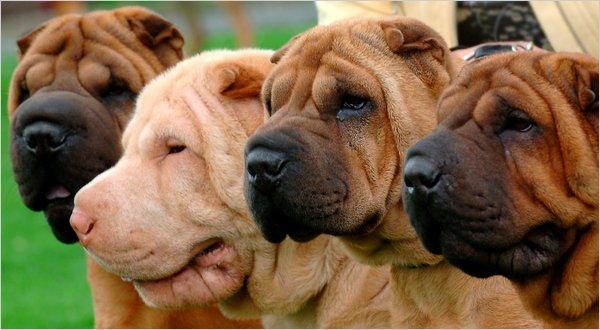 沙皮狗的皱褶可能帮助治疗人类疾病