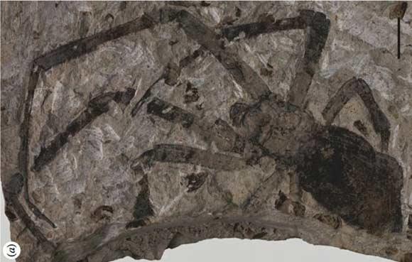 第一大蜘蛛化石,你见过吗?