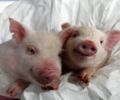 猪心即将可以代替人心