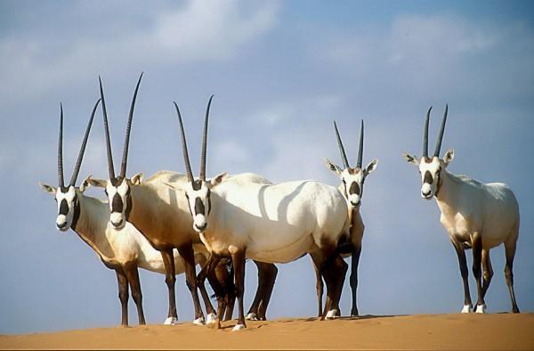 阿拉伯大羚羊复育取得初步成功