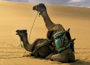 Sex and asymmetry: How the camel got its penis