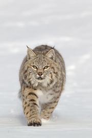 """""""闻""""风丧胆使猎物辨认出潜在的捕食者"""