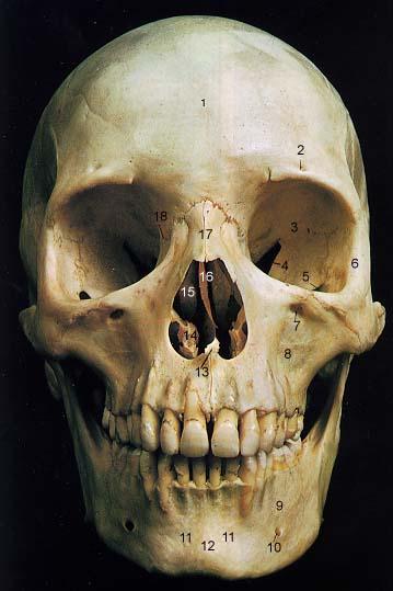 Anterior Skull copy.jpg