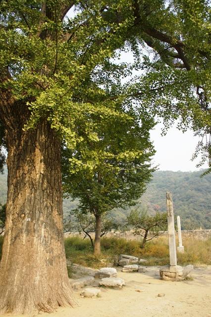 十字寺的大银杏树和辽碑、元碑