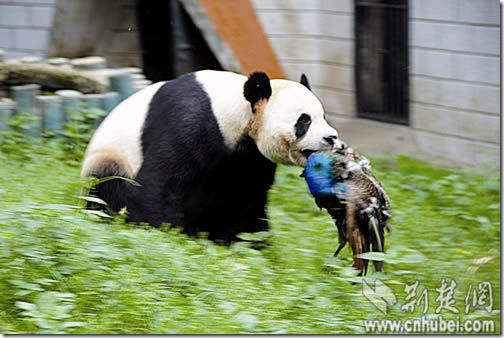 熊牙利!熊猫凶猛!