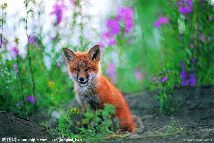 家乡德惠最后一条小狐狸