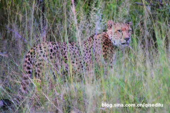 【南非】狩猎旅行,惊险刺激看非洲鈥溛宕筲