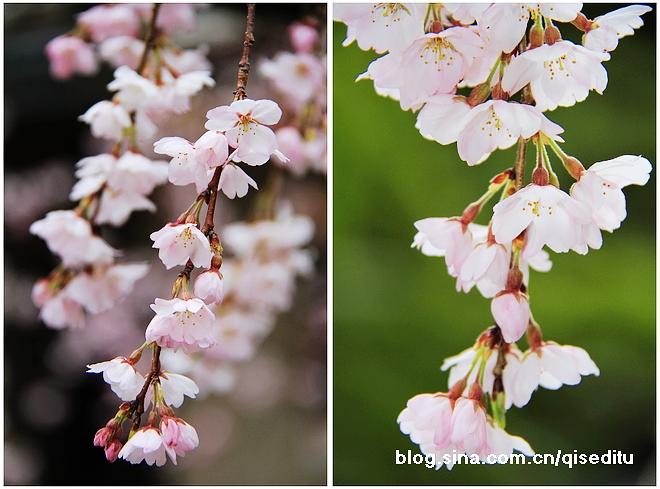 【品行之旅樱花季】初樱,伊豆半岛