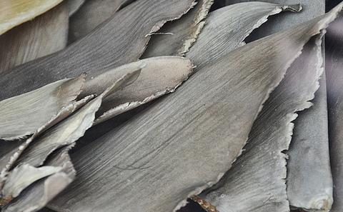 莫桑比克海岸的鱼翅交易