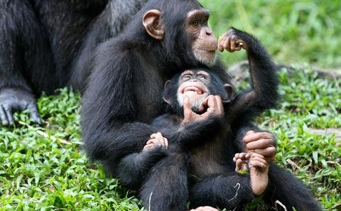 中国采矿助长几内亚猿类贸易