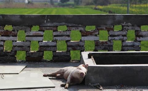 猪祸黄浦江