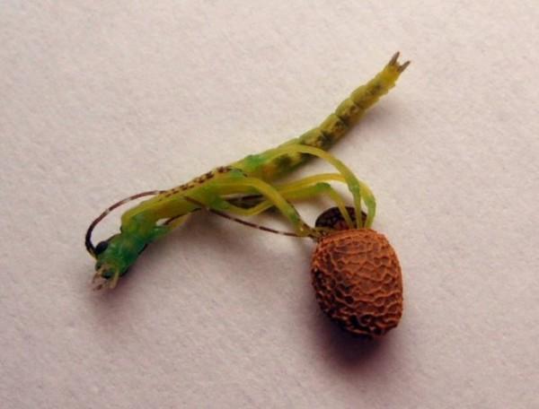 [少儿科普]竹节虫的自卫术