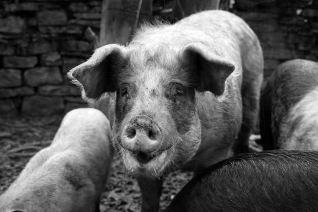 黄浦江上漂流的猪和商业机遇
