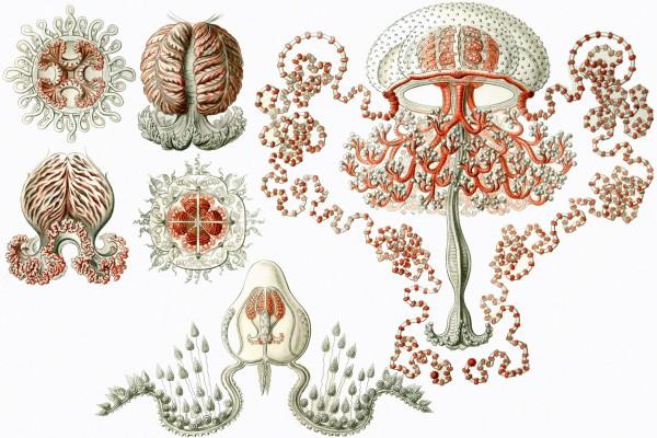 Ernst-Haeckel-Art-Forms-in-Nature-Anthomedusae-_560246-12