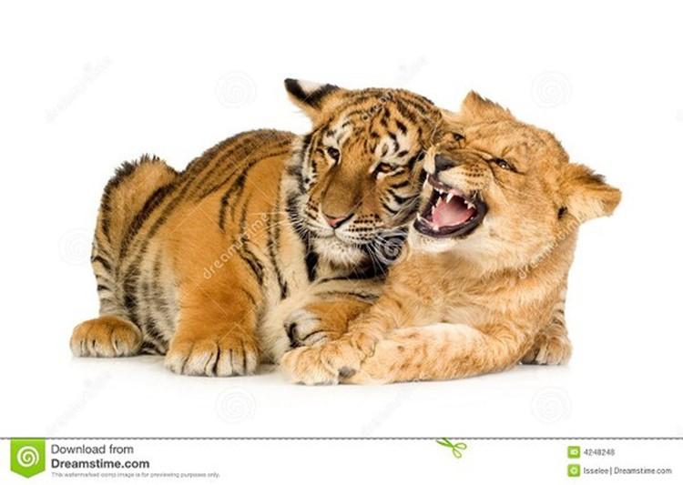 老虎和狮子,谁更厉害?