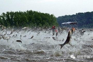 【旁观日记】鲤鱼肆虐北美 中国食客当救兵?