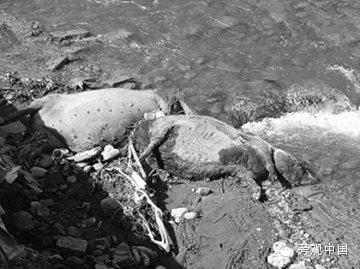 【旁观中国】中国江水里又来一大波死猪
