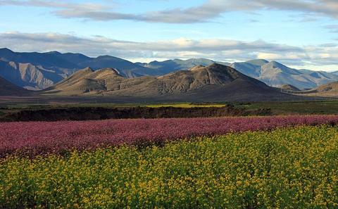 气候变化威胁西藏的珍稀高山植物