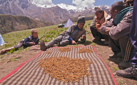 冬虫夏草引发的尼泊尔血案