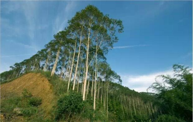 关于桉树产业发展问题的再思考