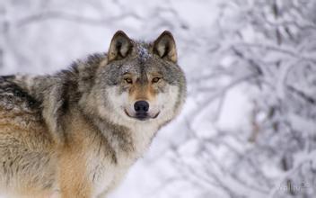 野狼为什么强壮