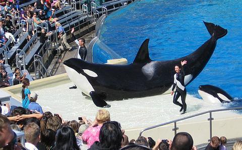 动保人士呼吁抵制中国首例虎鲸表演