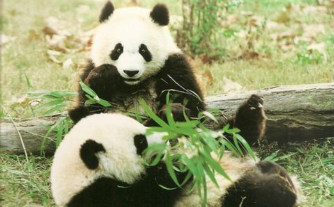 大熊猫数量上升但种群分割严重
