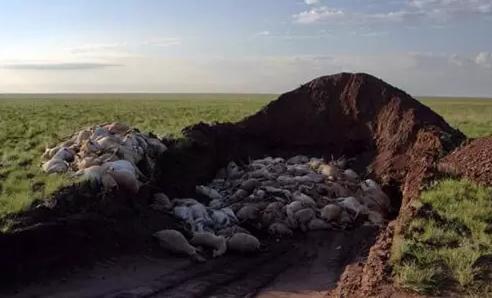 12万只羚羊突然死亡:天灾还是人祸?