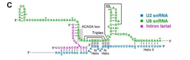 显微镜(冷冻电镜)方法解析的酵母细胞剪接体近原子水