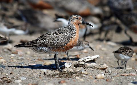 中国湿地锐减危及濒危水鸟种类