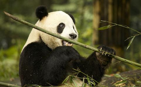 四川大熊猫栖息地因天然林砍伐遭破坏