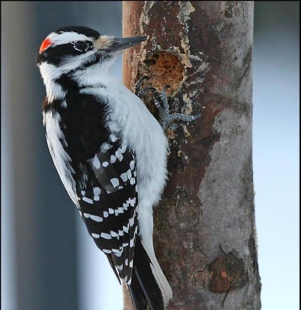 谁把啄木鸟逐出森林?