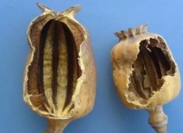 吃多少罂粟壳会上瘾?