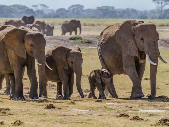 《卫报》为何要用中文报道大象的生存危机?