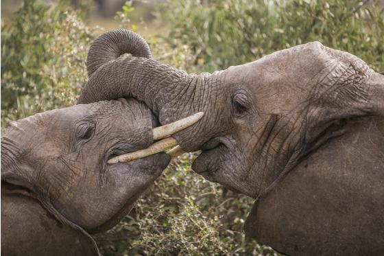 """拯救非洲大象:""""你能想象它们在这个地球上彻底灭绝吗?"""""""