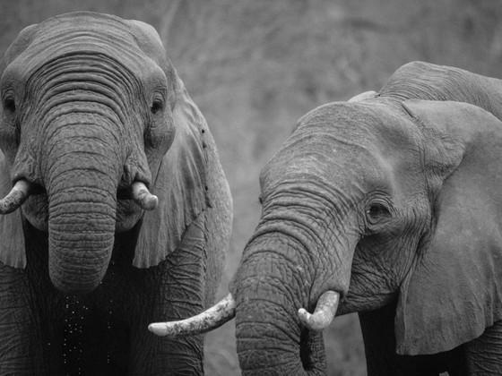 关于濒临灭绝的大象:一些关键事实
