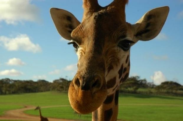 我的小诗:《院子里的长颈鹿》