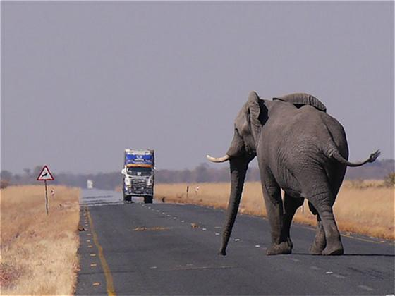 如何让被保护区困住的大象重拾自由?