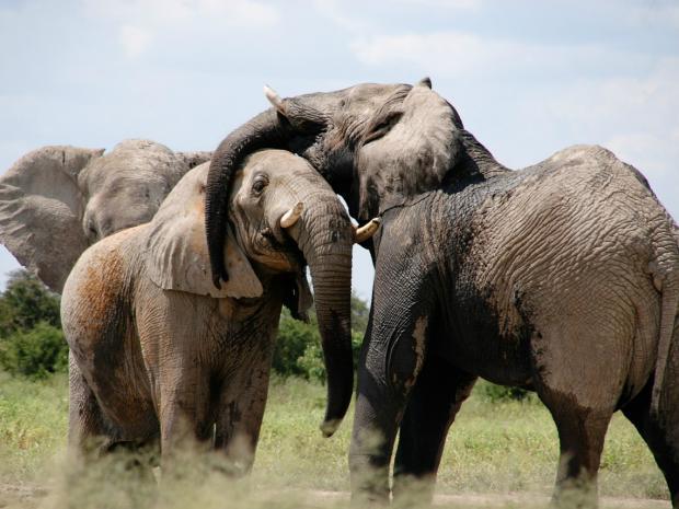 如果你是一头大象……