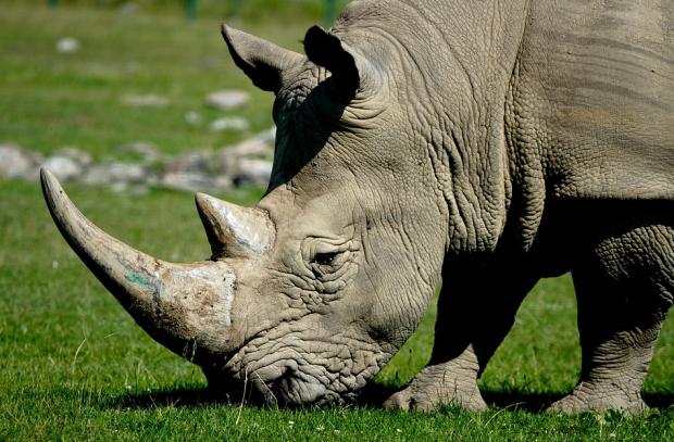 天价犀牛角引全球杀戮