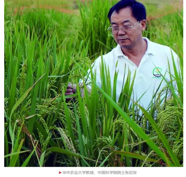 张启发:水稻育种的研究、思考以及变革