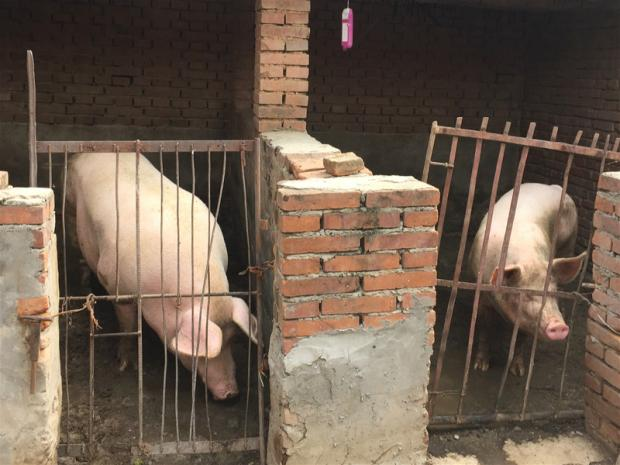 西方肉类生产模式是否适合中国?
