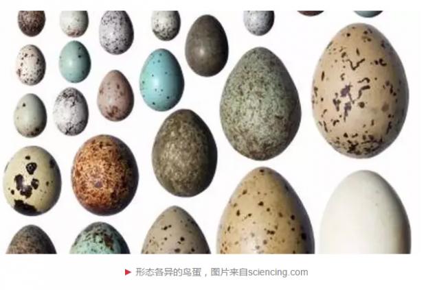 鸟蛋形态千奇百怪,原来和飞行能力有关?